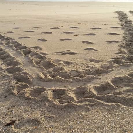 turtle tracks in the sand